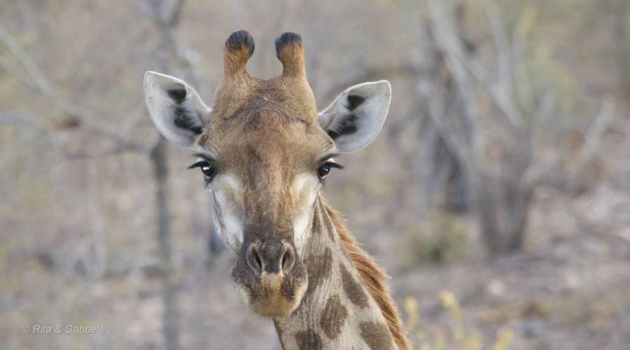 Giraffa al Kruger