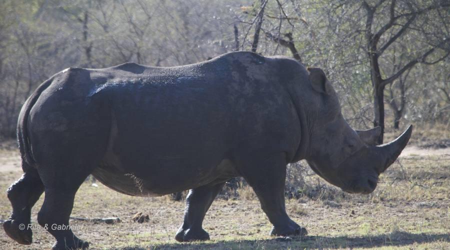 Rinoceronte al Kruger