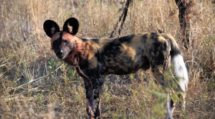 Licaone al Kruger