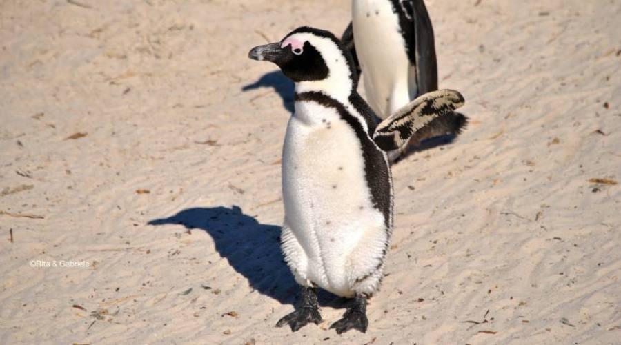 Pinguino del Cap