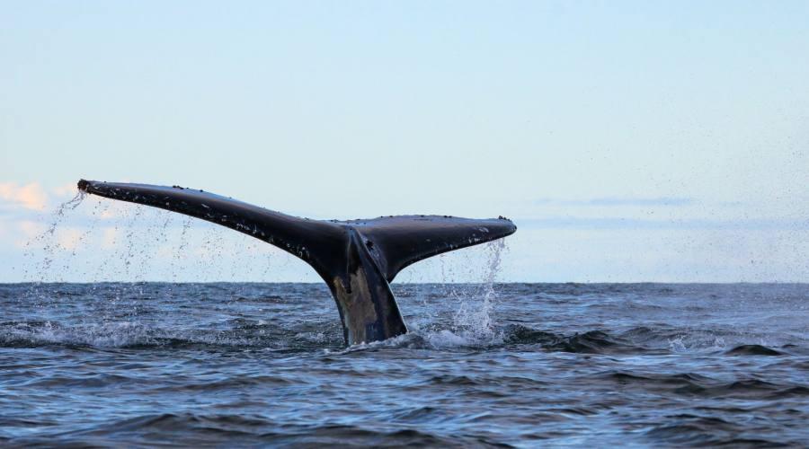 Balena nella penisola antartica
