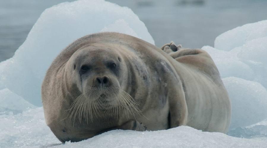 Safari artico alla ricerca degli orsi polari for Cabine marine di grandi orsi