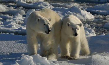 Safari artico alla ricerca degli orsi polari