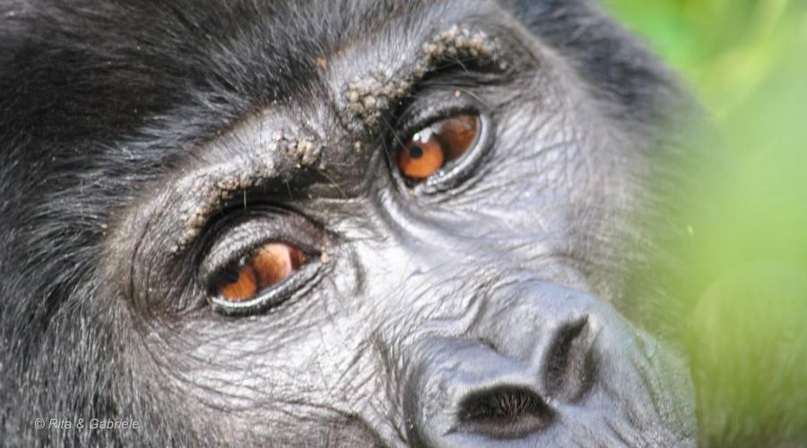 Lo sguardo del gorilla