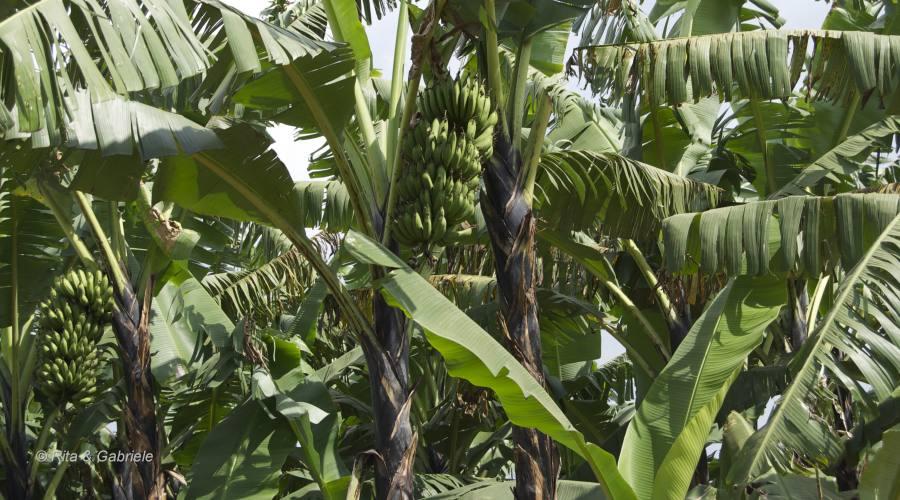 Piantagioni di banane