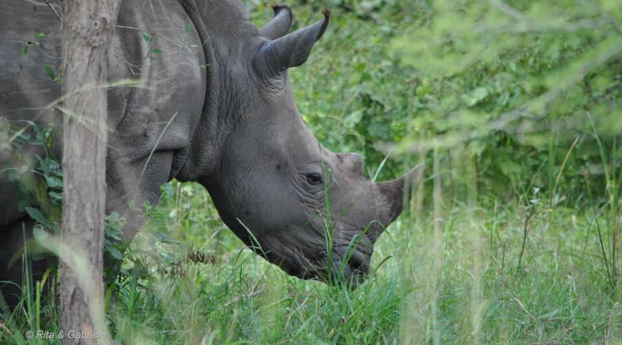 Particolare di Rinoceronte