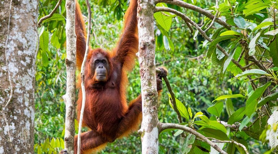 Un ospite al centro di riabilitazione degli oranghi