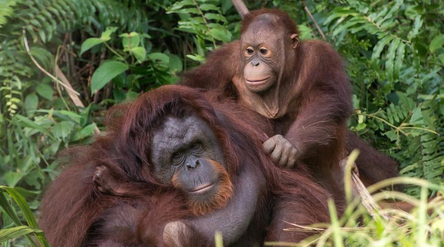 Simpatici amici al centro di riabilitazione degli oranghi