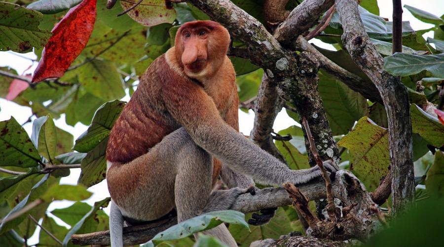 Una scimmia nasica in Borneo