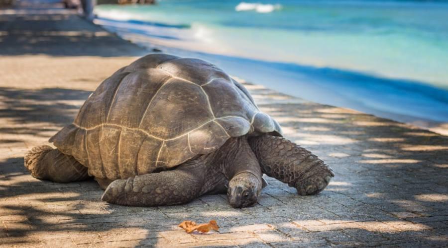 Seychelles tartaruga terrestre