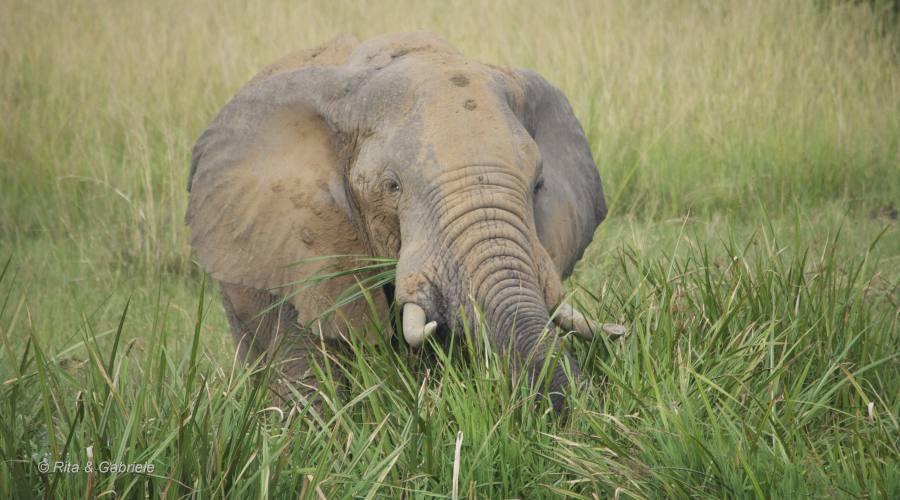 Elefante dal Boat safari