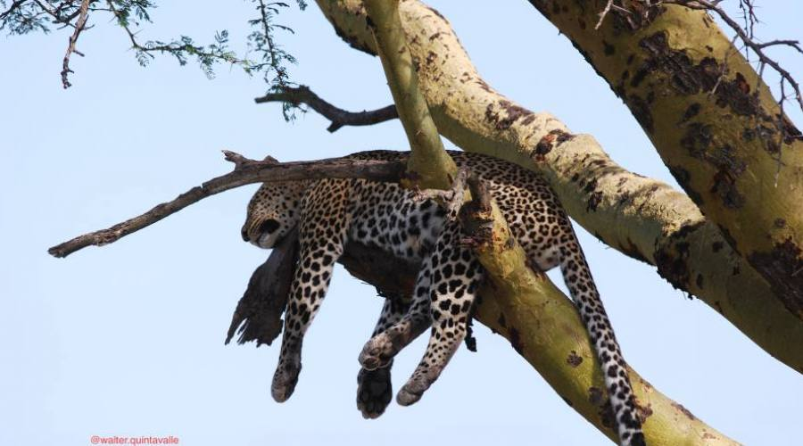 Leopardo en reposo
