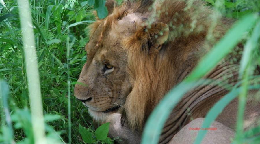 León en reposo