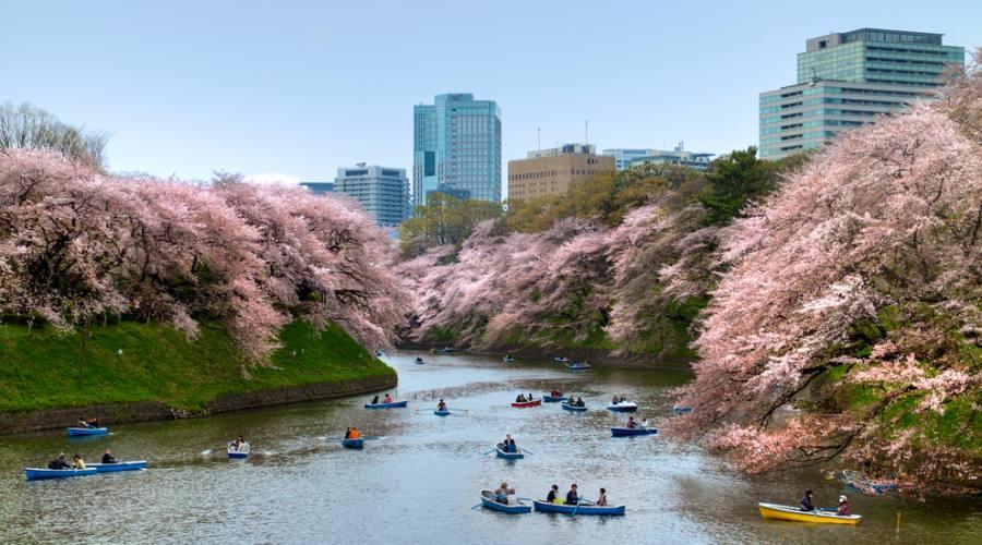 Fioritura dei ciliegi a Tokyo
