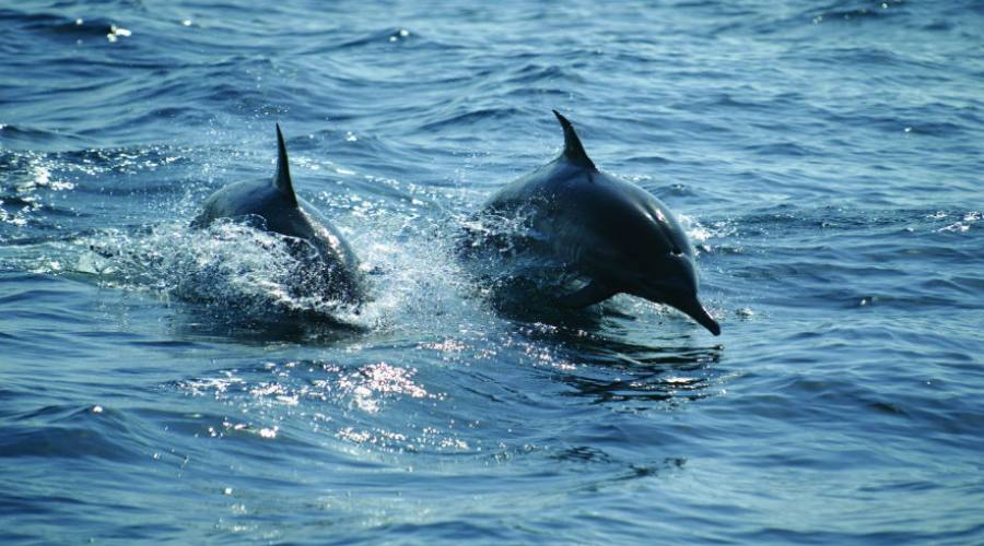 Delfini intorno ai dhows