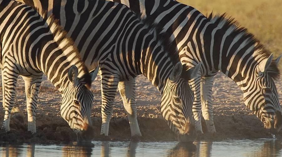 cebras en el Kruger