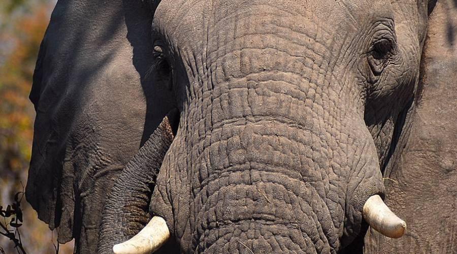 elefante - primer plano