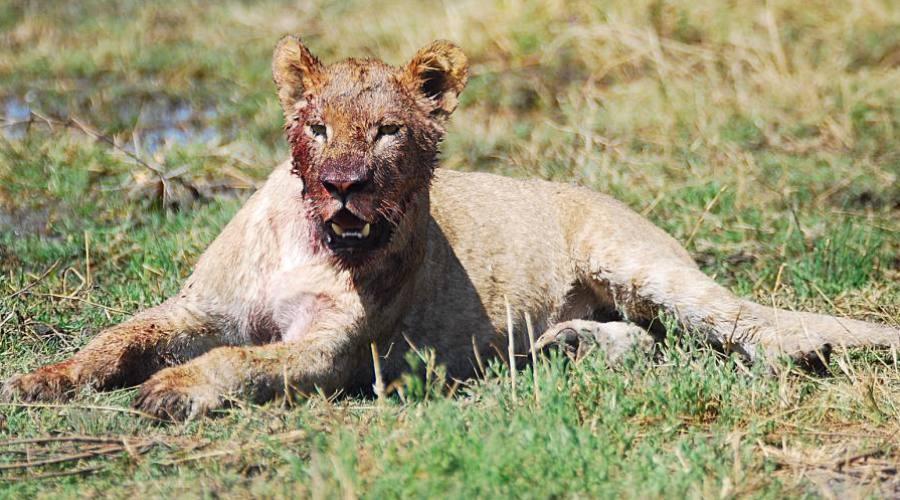 león en el parque Kruger