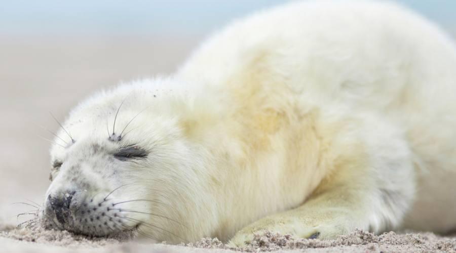 Cucciolo di foca grigia