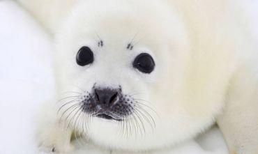 La nascita delle foche artiche