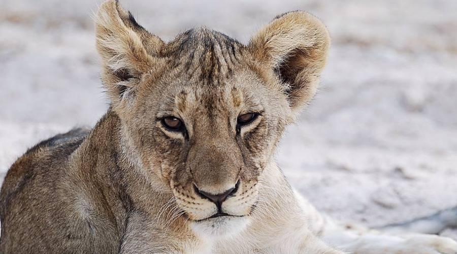 león en el parque Etosha