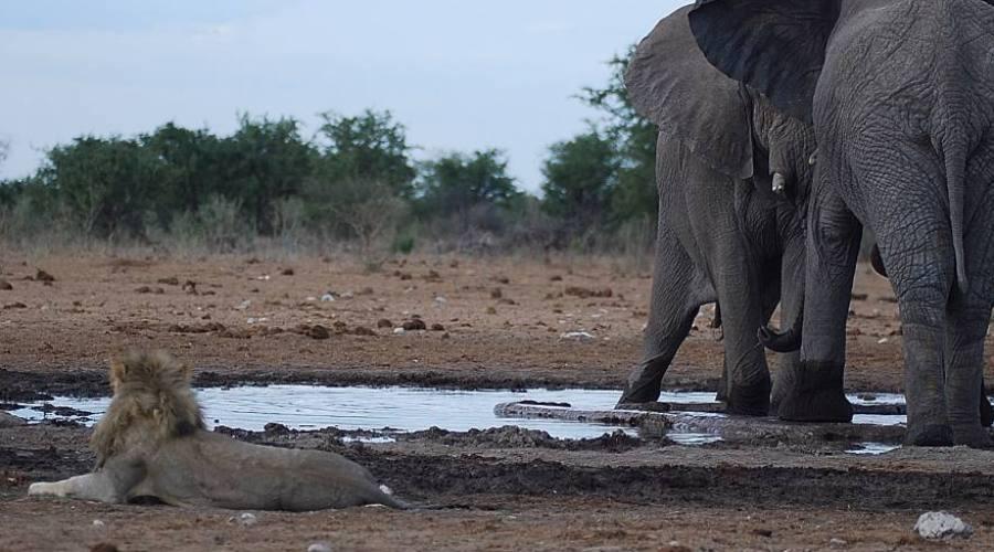 elefante nel parco Etosha