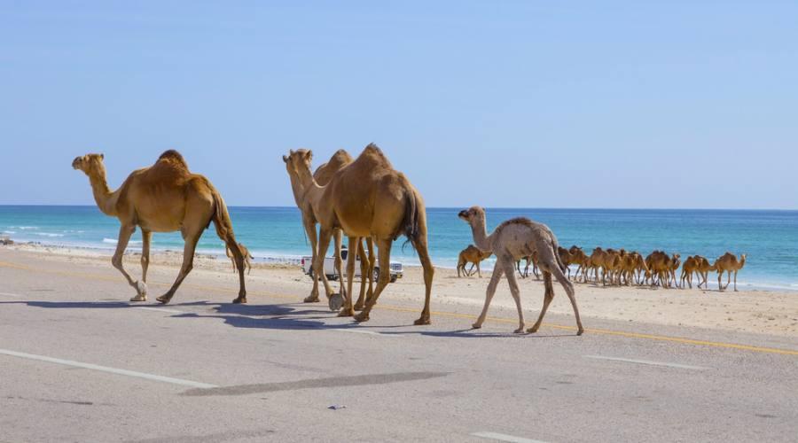 Animali della zona (cammelli)