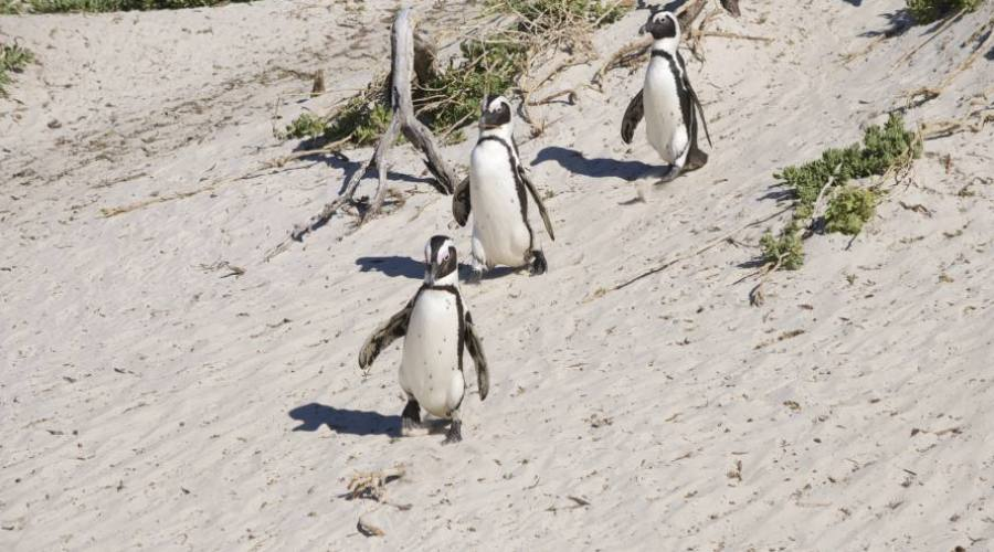 Pinguini del Capo