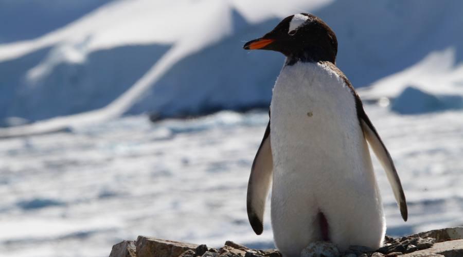 Pinguino Gentoo
