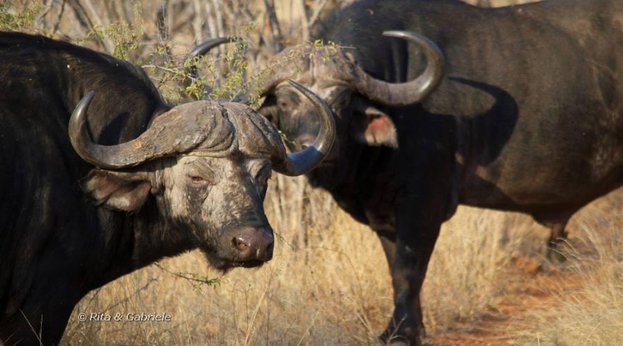 Bufali