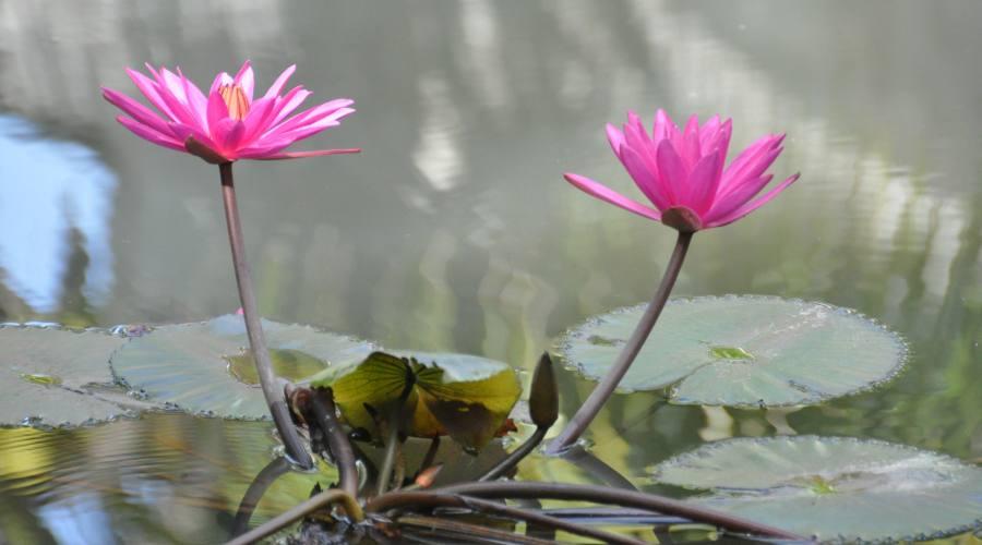 il fiore tradizionale, Lorus