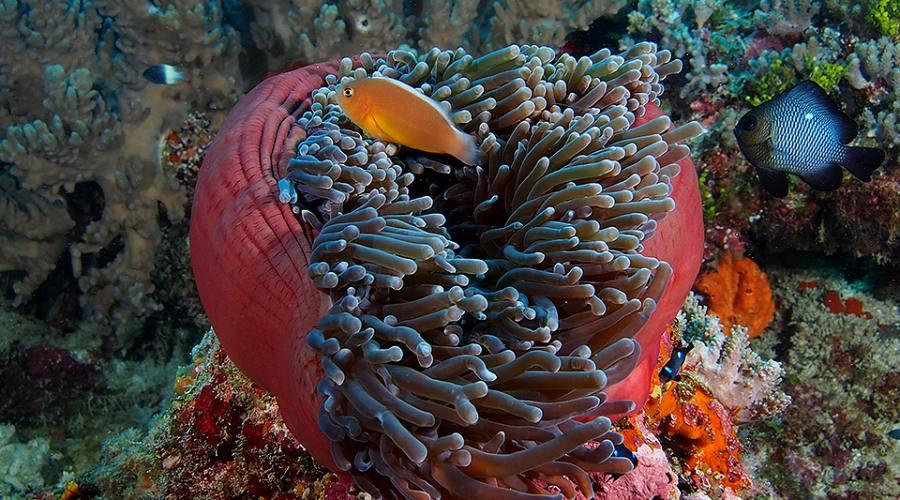 Anemone con pesce pagliaccio
