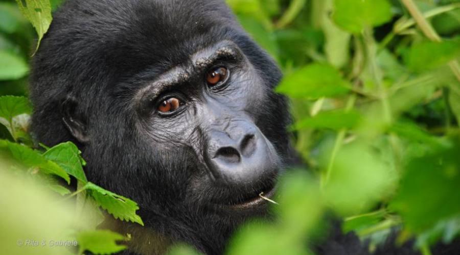 Gorilla di Montagna