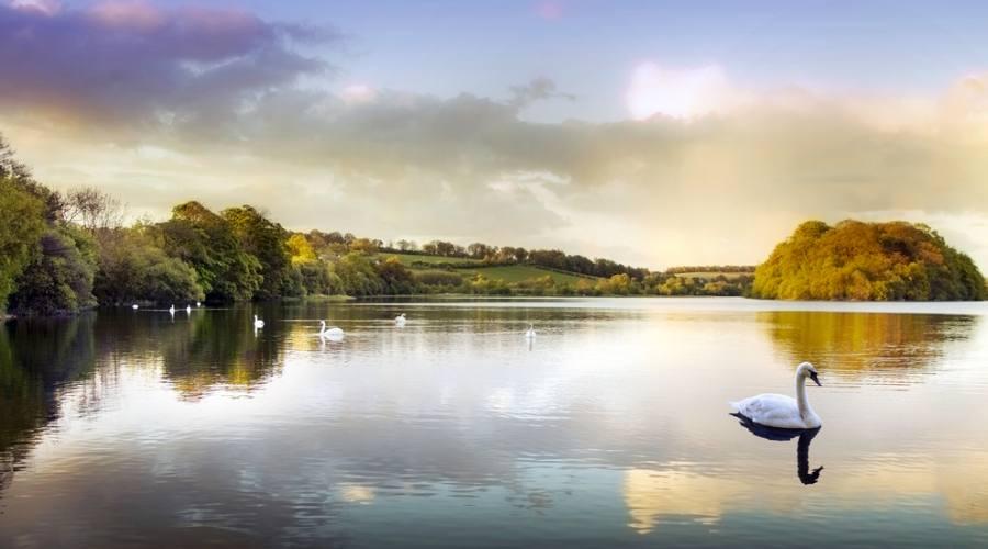 Cigni in un lago scozzese