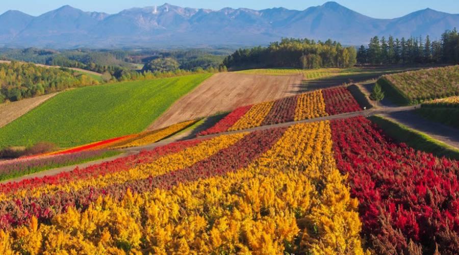 Furano - Coltivazioni di fiori