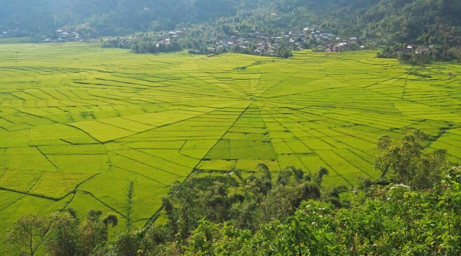 campi di riso a forma di ragno a cancar