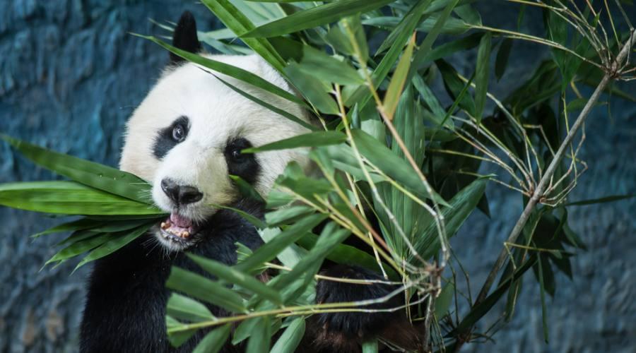 Cina : Panda