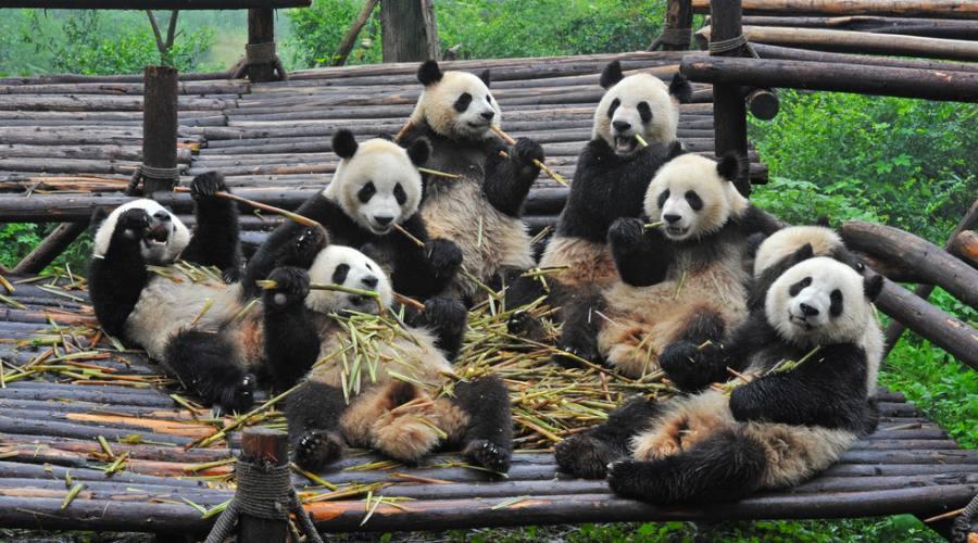 Chendu: Centro Conservazione Panda
