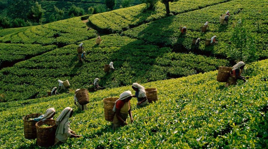 Sri Lanka Nuwara Eliya Le piantagioni di te