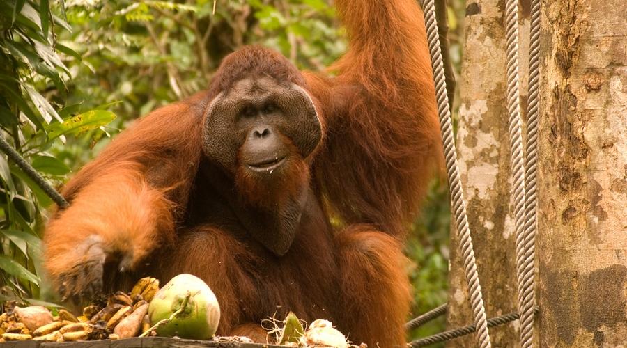 centro di conservazione degli oranghi di Semenggoh