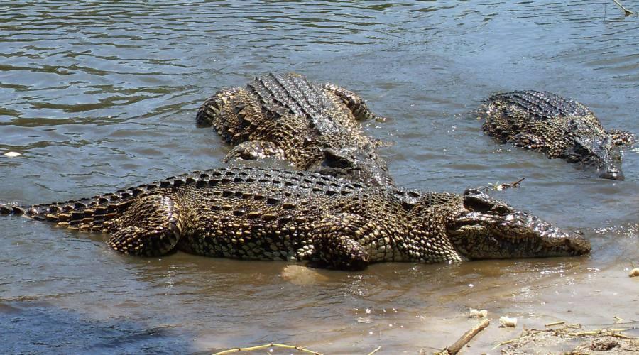 Allevamento coccodrilli, Zapata