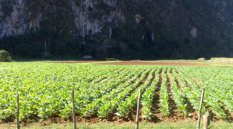 Piantagioni di tabacco, Vinales