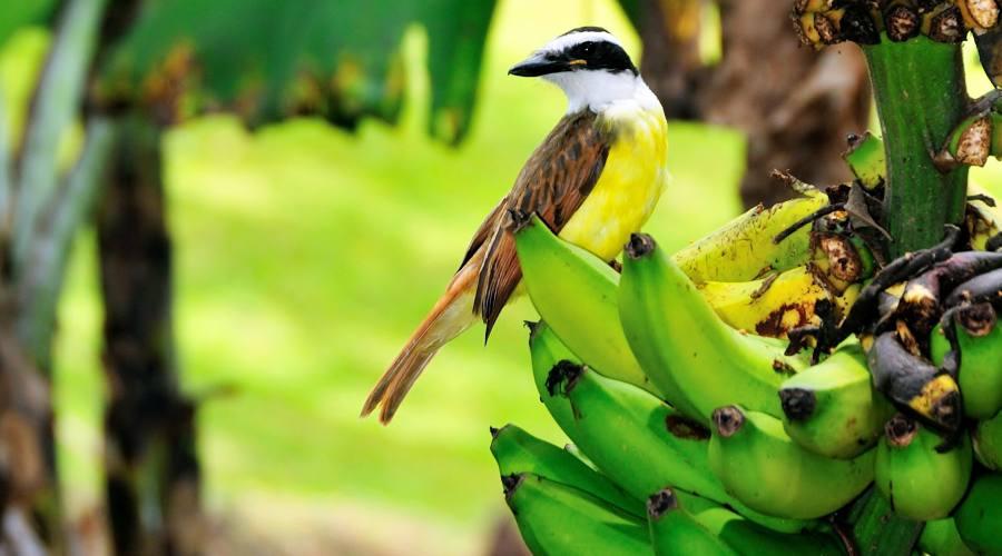 Banane con inquilino....!