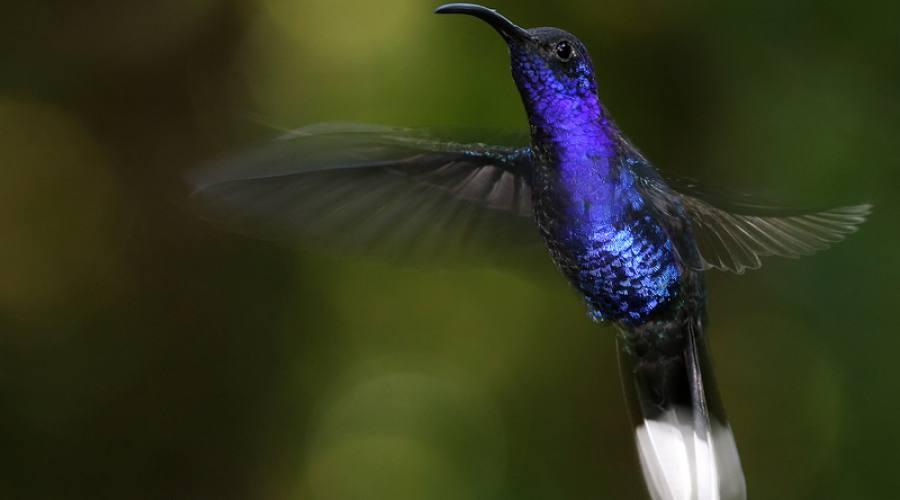Colibrì, Parco nazionale Cahuita