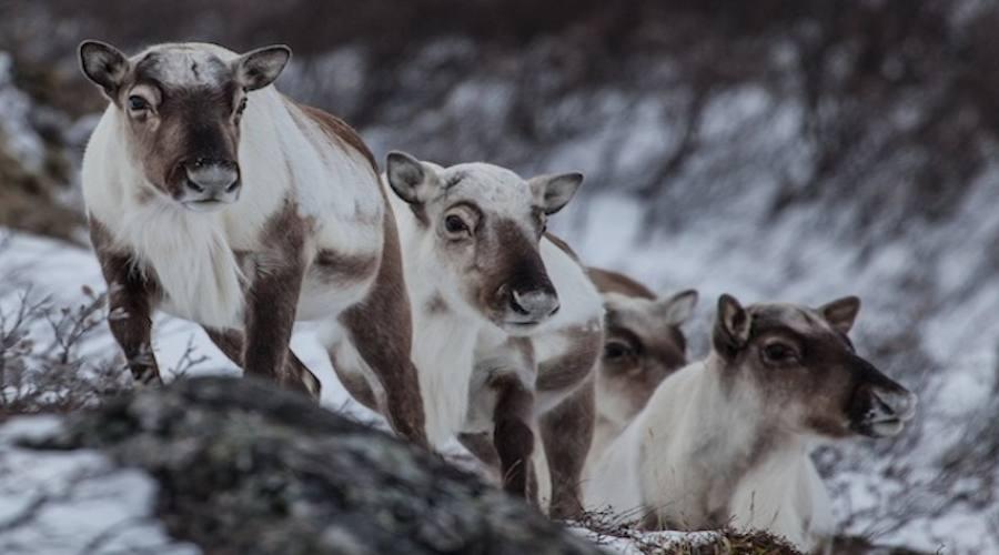 Fauna nordica