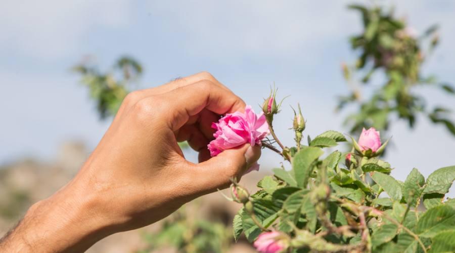 La fioritura delle rose in Oman