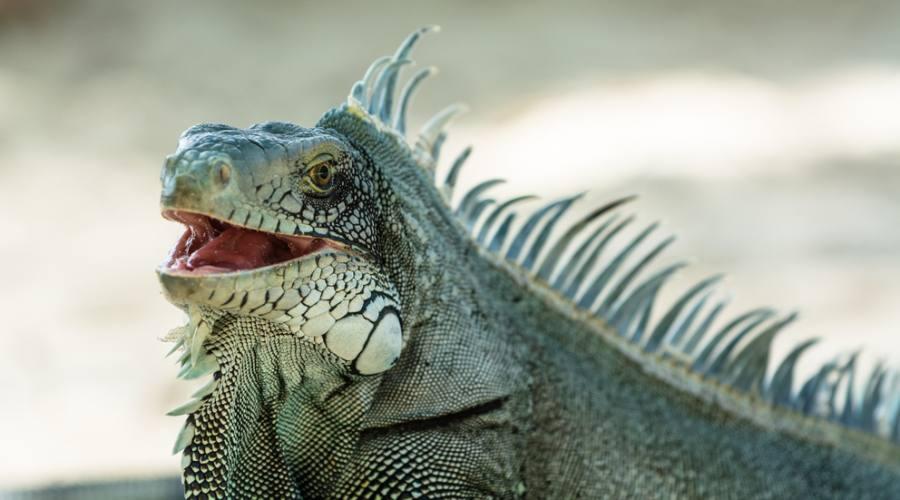 Iguana della Guadeloupe