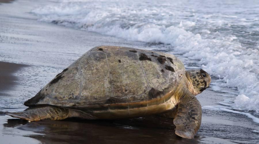 Parco nazionale Tortuguero, tartaruga marina