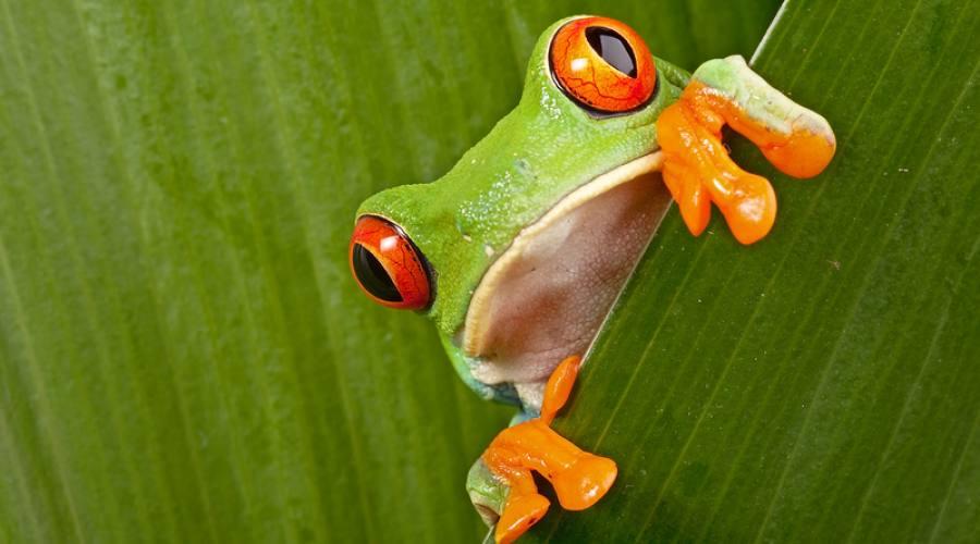 Rana dagli occhi rossi - Parco nazionale Cahuita