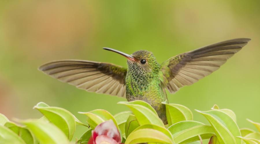 Un magnifico colibrì